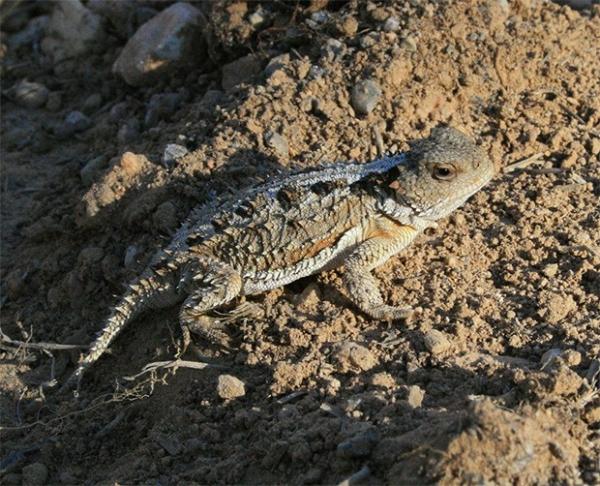 Короткорогая ящерица. Обитает в Северной Америке, её часто называют «Рогатой жабой», хотя эта ящерица вообще не относится к амфибиям.