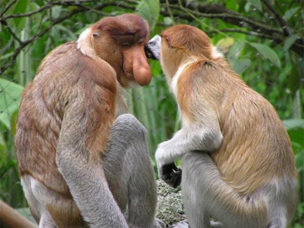 Обезьяна Носач, или кахау. Этот вид приматов распространен исключительно на острове Борнео.