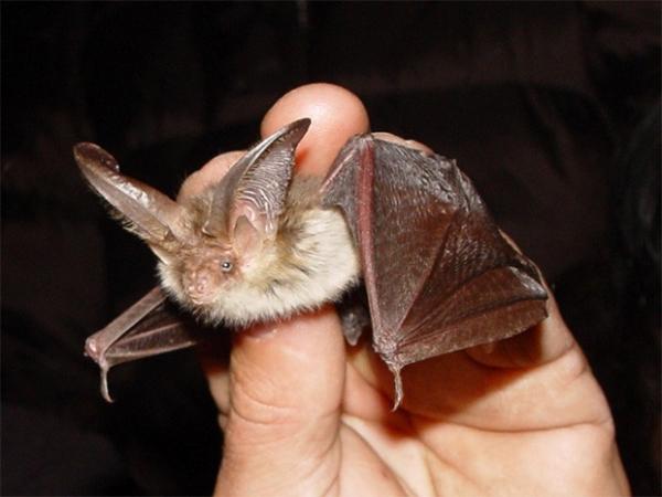 Бурый ушан. Один из видов рода ушанов из семейства обыкновенных летучих мышей. Длина ушей этого вида почти равна предплечью.