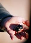 Жук-скоробей. В настоящее время известно 90 видов этого насекомого, большинство из которых произошли из Афротропической области. В Западном полушарии и Австралии они отсутствуют, а на территории бывшего СССР существует 8 видов этих жуков.