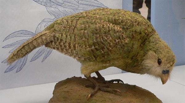 Какапо, или совиный попугай. Эта птица утратила способность к активному полёту и является единственным видом попугаев, имеющим полигинийную систему размножения. По некоторым данным, этот вид птиц может быть самым древним из ныне живущих.
