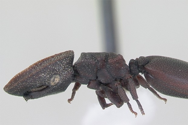 Уже в XXI веке было открыто, что существует два вида муравьев, способных к планирующему полёту. Эти насекомые могут контролировать направление полёта во время падения с дерева, при этом данное умение развивалось в нескольких группах муравьев независимо друг от друга.