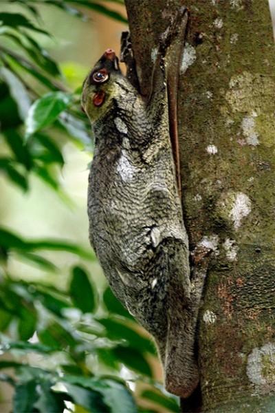 В мире существует также два вида шерстокрылов - малайский шерстокрыл и филиппинский, названные так по ареалам обитания. Эти млекопитающие очень медленно передвигаются по земле, однако крайне приспособлены к планированию.