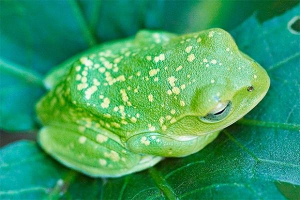 На территории Юго-Восточной Азии живут несколько десятков видов летающих лягушек, их ещё называют веслоногими лягушками. Между пальцами этих земноводных развиты широкие перепонки, поверхность которых у отдельных видов достигает 20 см².