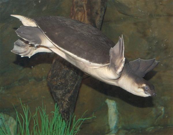 Двухкоготная черепаха. Обитает лишь в пресноводных водоёмах северной части Австралии и юга Новой Гвинеи. Этот вид относится к живым ископаемым.