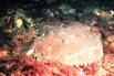 Американский морской чёрт, или американский удильщик. Общая длина тела этой рыбы достигает 120 см, но наиболее распространены особи длиной до 90 см. Масса рыбы составляет до 22,6 кг, наибольшая зафиксированная продолжительность жизни - 30 лет.