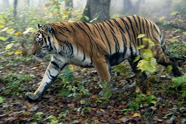 Амурский тигр является одним из самых малочисленных подвидов тигра, его ареал сосредоточен в охраняемой зоне на юго-востоке России.