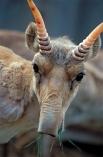 Парнокопытное млекопитающее из подсемейства антилоп - сайгак - объявлен видом на грани исчезновения. К этому привела неконтролируемая добыча сайги с целью вывоза рогов в Китай - в период с 1990 по 2006 годы было уничтожено, по разным оценкам, 94-97% вида.