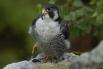 Птицы сапсан насчитывают около 17 подвидов, однако внесён в Красную книгу как малочисленный вид, а также в Приложение I к Конвенции СИТЕС, запрещающее торговлю этими птицами во всём мире.