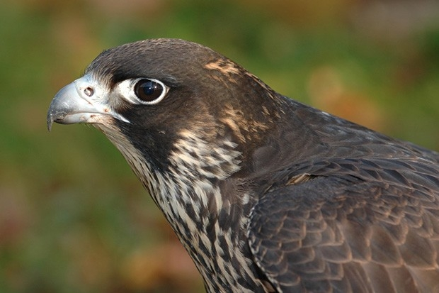 Хищные птица балобан из семейства соколиных распространён в горах на юге Сибири. Этот редкий вид ведёт кочующий образ жизни и лишь изредка проявляет признаки оседлости.