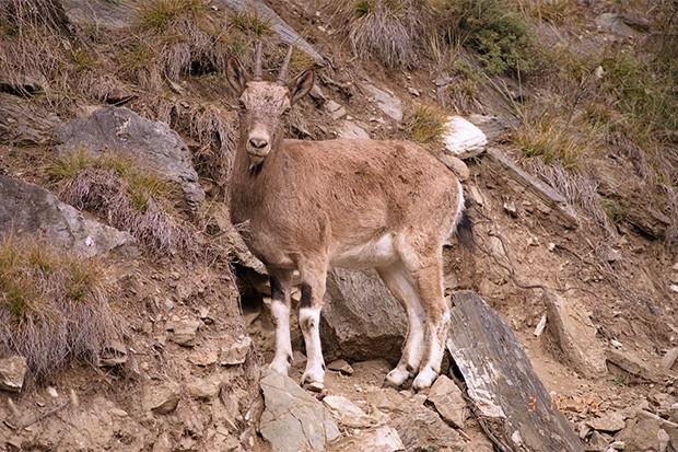 Алтайский горный баран - крупнейший представитель род баранов и обладает самыми тяжёлыми рогами. Этот вид животных обитает в горных системах Монгольского и Гобийского Алтая.