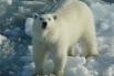 Белые медведи, в отличие от своих бурых сородичей, весьма давно внесены в различные списки исчезающих видов. Во многом это связано с тем, что у данного вида крайне ограниченный ареал обитания.