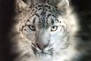 Снежный барс, или Ирбис, крупное хищное млекопитающее из семейства кошачьих, внесён не только в Красную книгу России, но также в Красную книгу МСОП и охранные документы других стран. Охота на этих животных полностью запрещена. По данным Всемирного фонда д