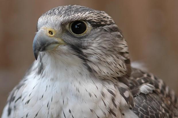 Птицы кречет являются самыми крупными в семействе соколиных. Название этого вида птиц произошло от произносимого ими звука.