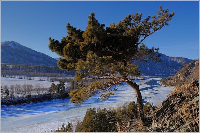 Алтайский бонсай