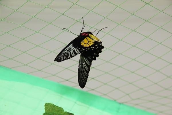 Птицекрылка золотистая, встречается на Филиппинских островах