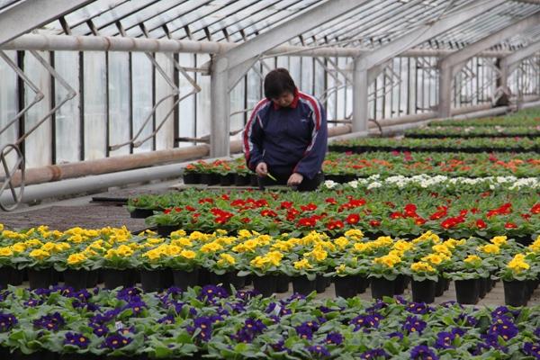 В оранжерее Волжского собраны свыше десятка видов примулы
