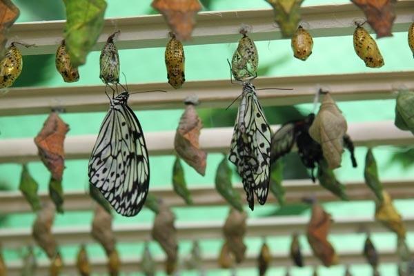 Коконы будущих бабочек