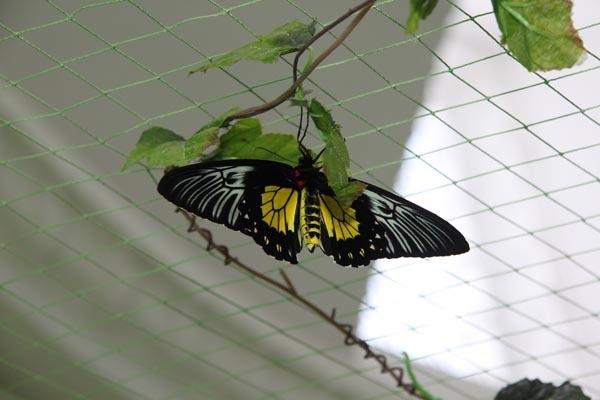 Птицекрылка золотистая