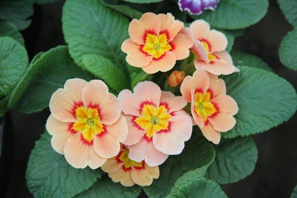 В ботаническом саду собраны примулы всех цветов радуги