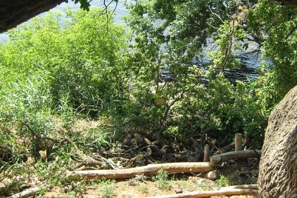 Корни 400-летнего дуба каждый год подмывает Волгоградское водохранилище