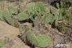 Знали ли вы, что в Волгоградской области в природных условиях растут кактусы?