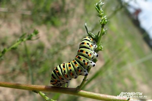 Эта гусеница в ближайшие дни планирует стать бабочкой махаоном