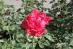 Осеняя роза в городском парке не желает расставаться с летом