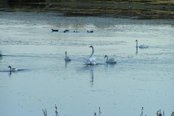 Лебедь белая плывет