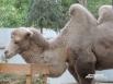 Верблюда по имени Малыш привезли в зоодворик из Астраханской области