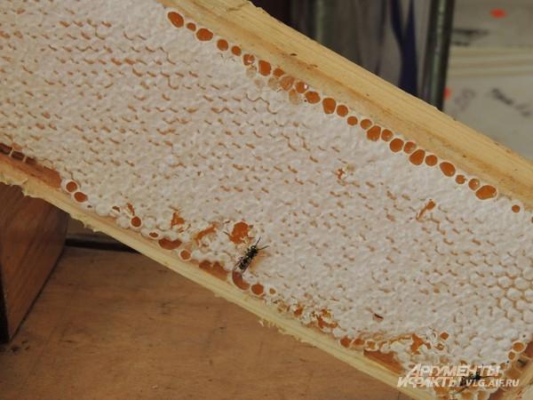 Пчелы никогда не против мёда