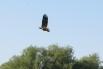 Грозный орлан-белохвост кружит в небе в поиске добычи