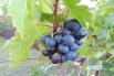 Осы наслаждаются сладким поздним виноградом