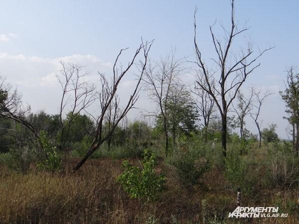 Вообще-то не все деревья высохли, есть даже с ягодами