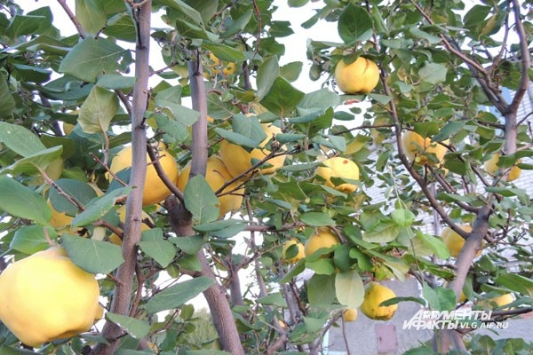 Айва в Средиземноморье считается символом любви и плодородия