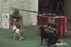 Собака на выставке должна спокойно показывать зубы и давать себя погладить судье.