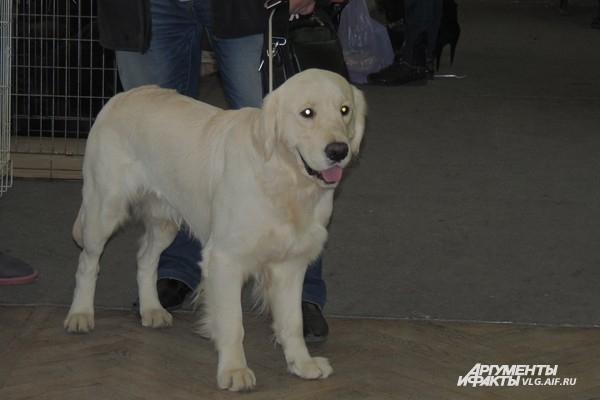 Ретриверы согласно по классификации МКФ объединяют 6 пород собак.