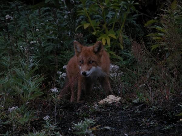 На острове водятся лисы