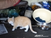 Рыжий кот — питомец и друг