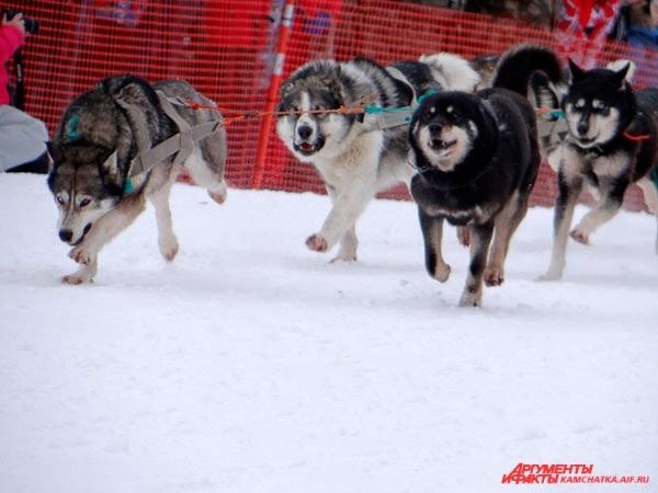 Собаки знают, что после гонки их вкусно покормят!