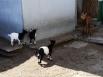 С камерунскими козами