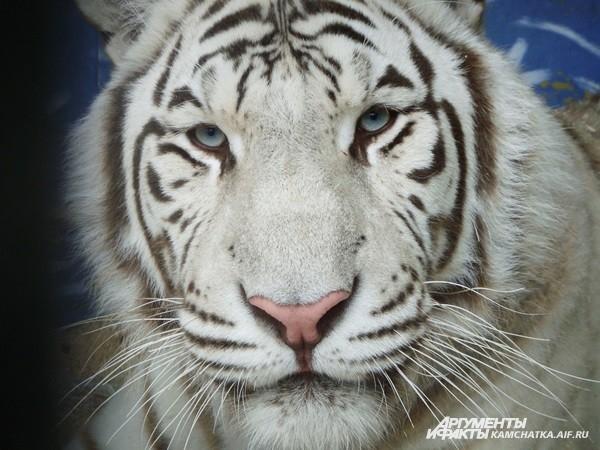 ...и тигров