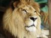 В гастролирующем зоопарке самые разные хищники: от львов...