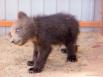 Медвежонок очень подвижный