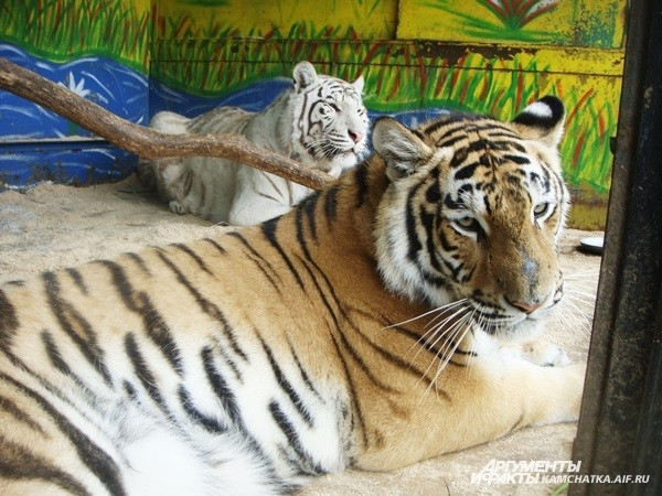 ...до тигриц...