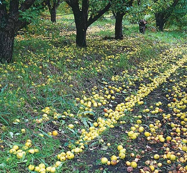 Прокопьевские яблочки