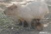 Самый большой грызун в мире: капибара в краснодарском зоопарке