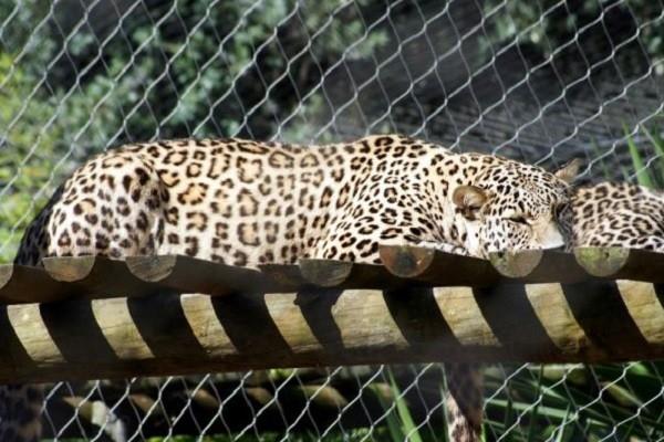 На Кубани родились детеныши редких переднеазиатских леопардов