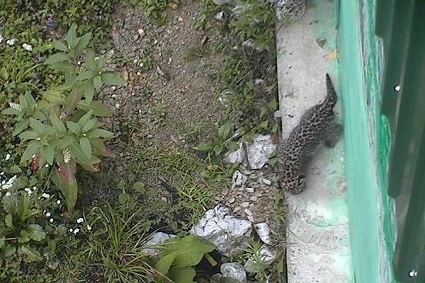 В Сочи родились котята у второй пары редких переднеазиатских леопардов