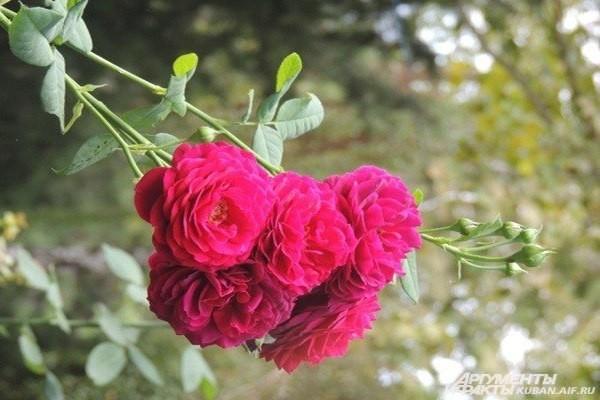 Розовые розы. Парк 30-летия Победы